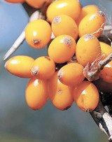 Возвращение оранжевого чуда