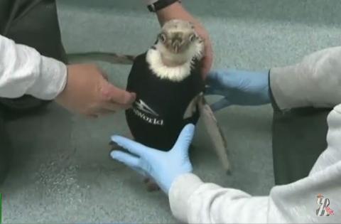 В океанариуме США пингвину подарили дизайнерский пиджак