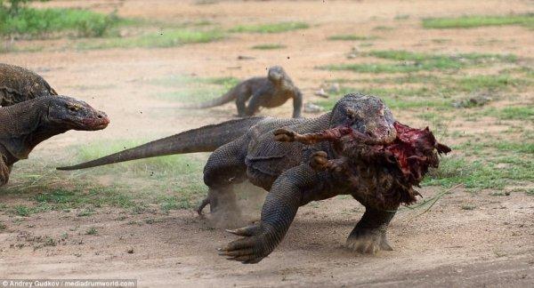 Комодские вараны — драконы наших дней