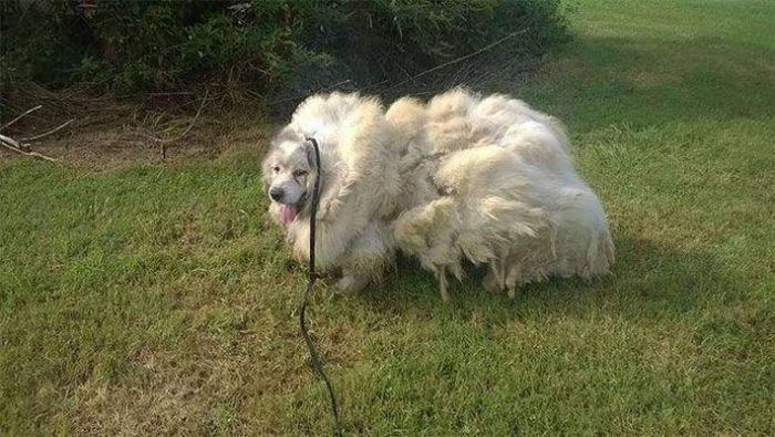 Собака похудела на 16 кг после первой стрижки за 6 лет