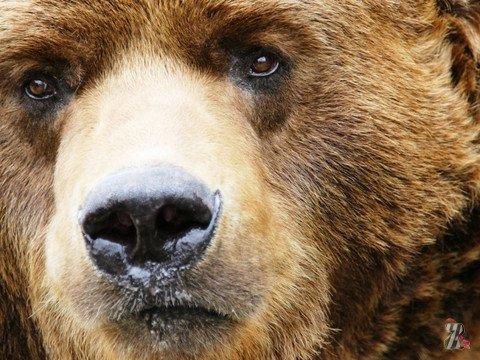 В Японии медведь загрыз хозяина