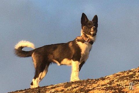 В Мурманске испугавшись салюта сбежала собака-дипломат