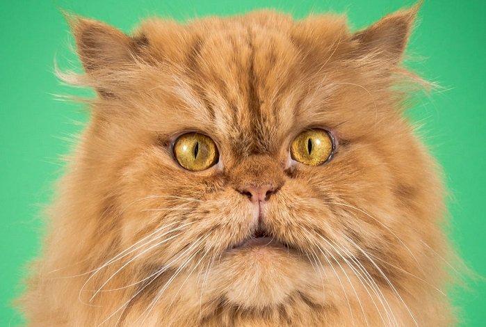 Прелестные толстопузы: 18 удивительных снимком эмоциональных котов-толстунов