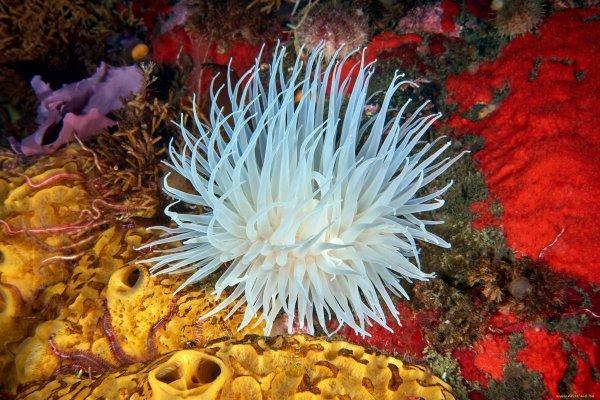 Актинии — цветы океана
