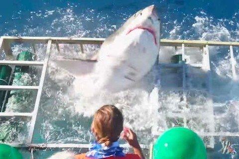 У берегов Гуадалупе большая белая акула сломала клетку, в которой находился дайвер…