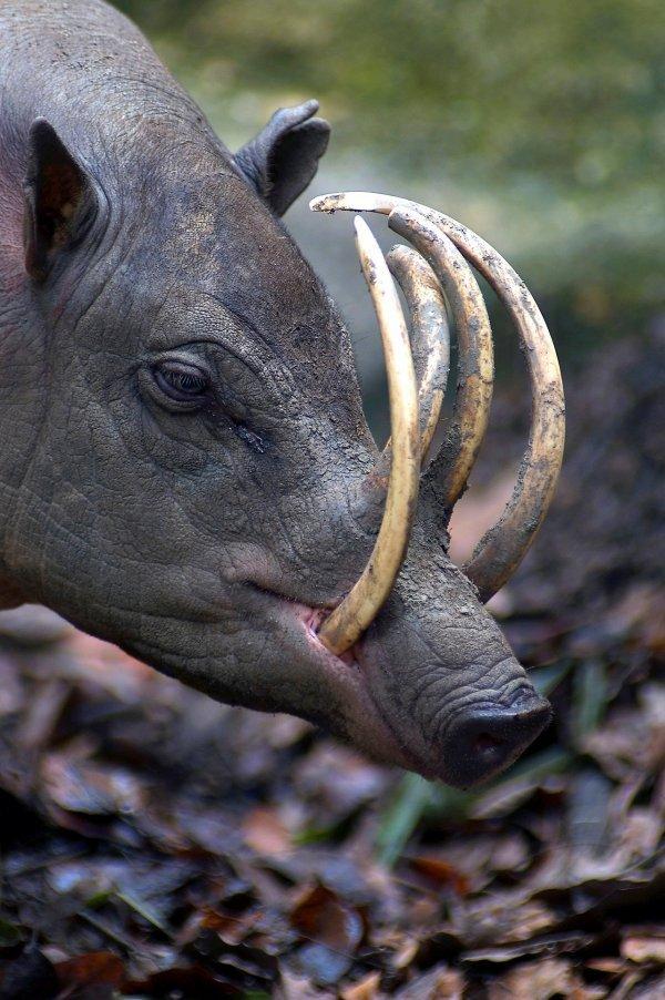 Свинья-олень острова Сулавеси
