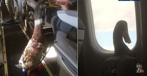 Американка из-за боязни летать берет с собой в самолет утку-компаньона