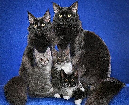 Мейн-кун – фото, описание породы кошек и содержание
