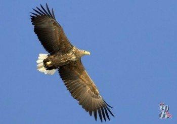 В Новосибирской области развелись редкие орланы-белохвосты