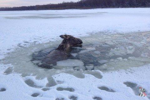 О том, как алтайский рыбак спасал провалившегося под лед лося