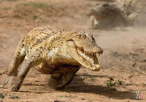 В Австралии — бега крокодилов и жаб