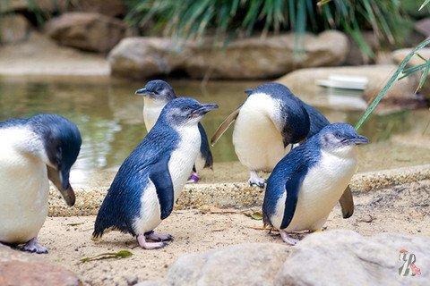 В Новой Зеландии пингвины ходят к океану по специальному подземному переходу
