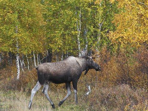 О продолжительности сезона охоты на лосей