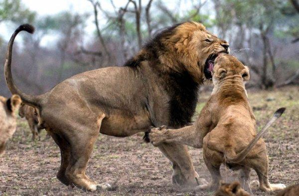 Лев сломал клык в схватке с львицей