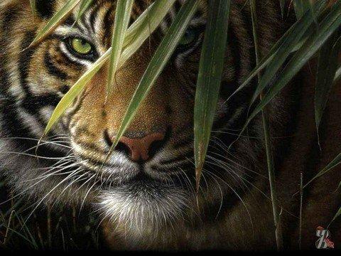 В Индии полтора месяца охотились на тигрицу, пожиравшую людей