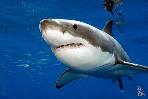Отважный водолаз прогнал акулу видеокамерой