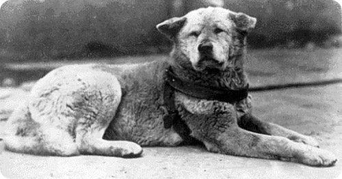 Реальноя история настоящей японской собакой Хатико