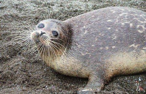 В Дагестане нашли сотни мертвых каспийских тюленей