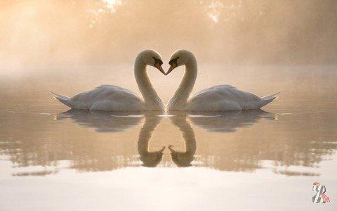 В Москве на Патриарших прудах спасали лебедей…