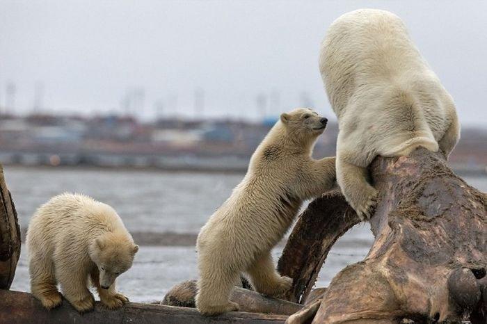 Белая медведица застряла в костях кита