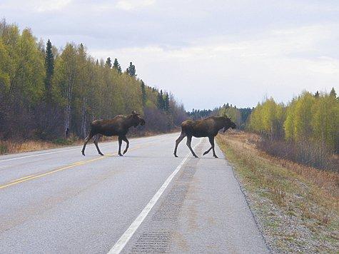 Лоси на дороге: опасные ситуации