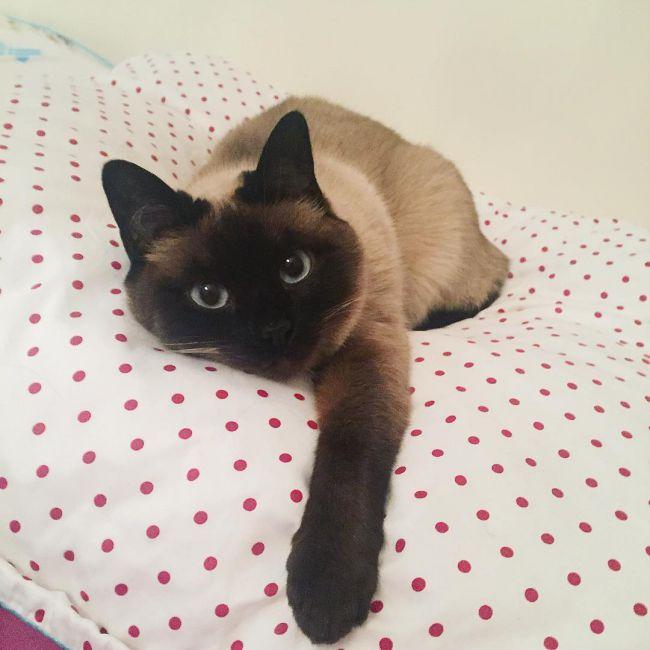 Сиамская кошка.