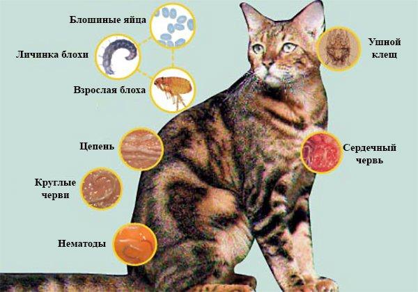 Паразиты у кошек и котов - симптомы и лечение.