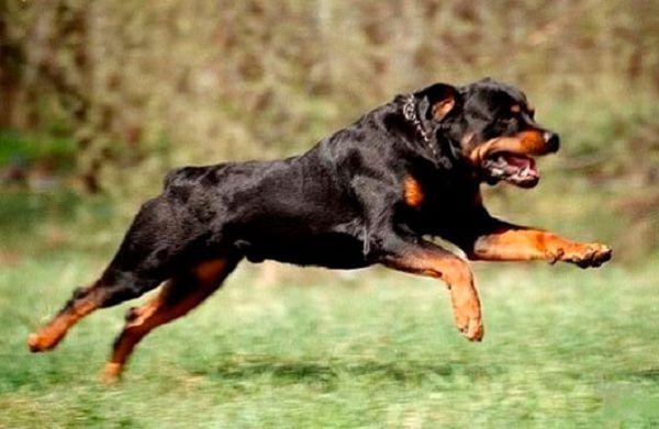 ТОП-10 самых умных собак в мире с фото и видео.