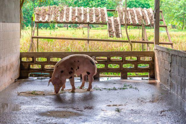 Летнее кормление свиней и поросят в домашних условиях.