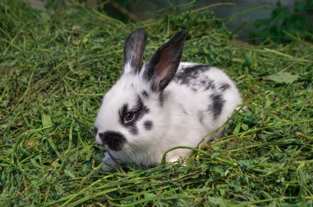 Псороптоз или чесотка кроликов — симптомы и лечение.