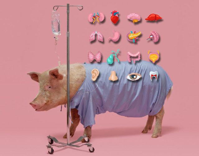 Появятся ли на свет свиньи с человеческими органами?