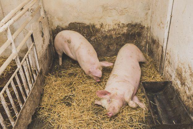 Как правильно содержать и разводить свиней в домашних условиях.