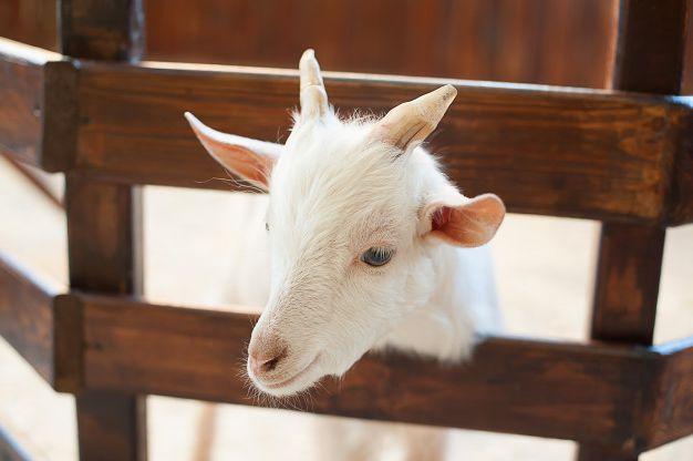 Кормление коз от «А» до «Я»