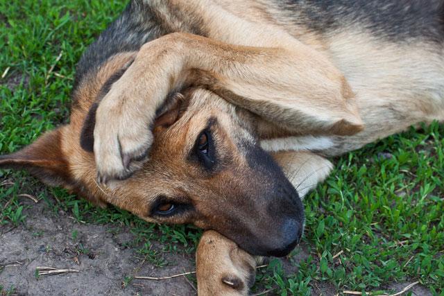 Течка у собак – переодичность, продолжительность, вопросы от А до Я.