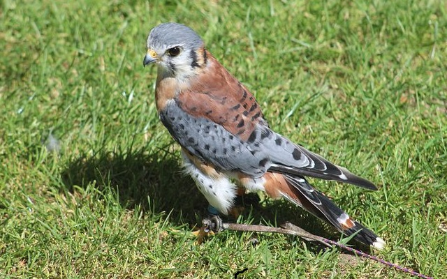 Американская пустельга фото. Самые красивые птицы мира.