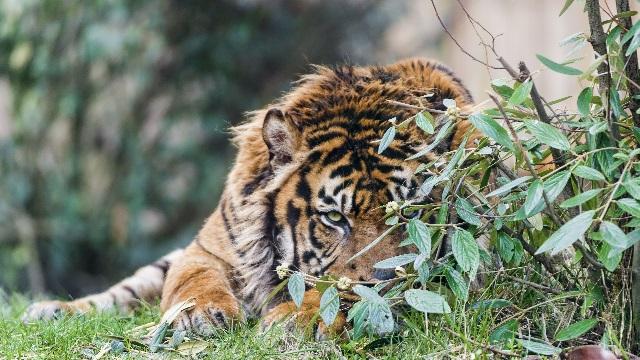 Факты из жизни тигров.