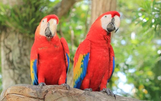 Красный ара фото. Самые красивые птицы мира.