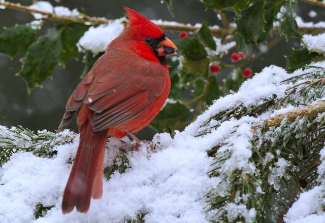 Самые красивые птицы мира. Красный кардинал фото.