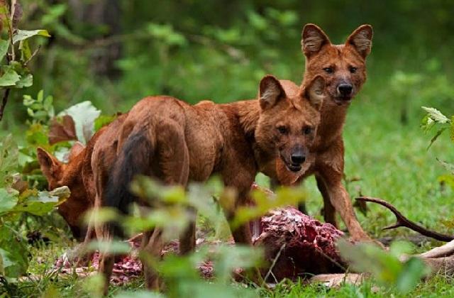 Виды волков красный волк фото.
