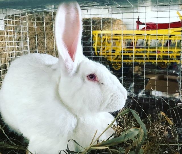 Разведение кроликов для начинающих.
