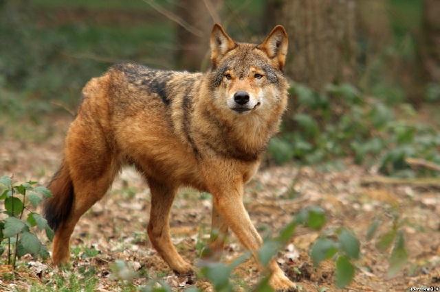 Виды волков рыжий волк фото.