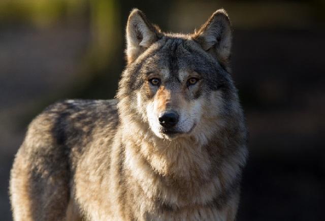 Серый волк фото. Виды волков.