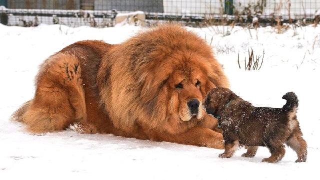 Самая дорогая порода собак в мире — тибетский мастиф.