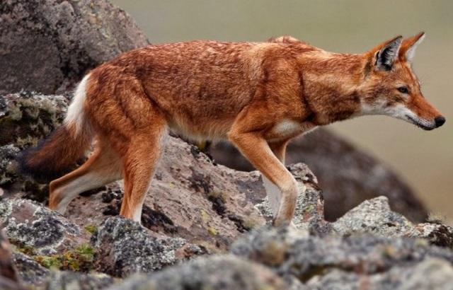 Виды волков Эфиопский шакал.