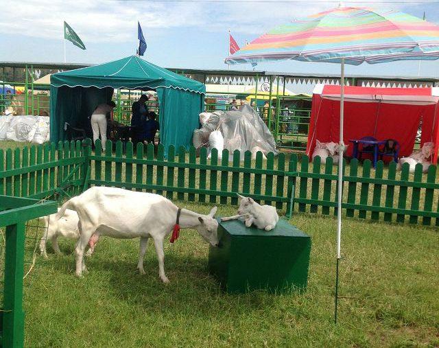 Зааненская порода коз – самая молочная порода коз в мире!
