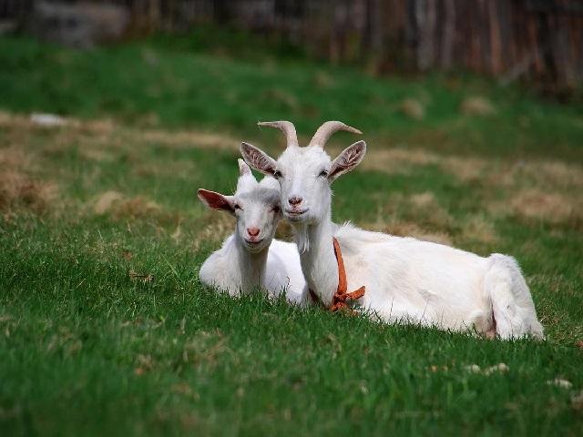 Болезни домашних коз и что делать в домашних условиях.