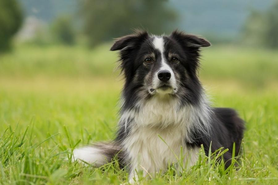 Бордер колли. Какие собаки считаются самыми красивыми в мире?