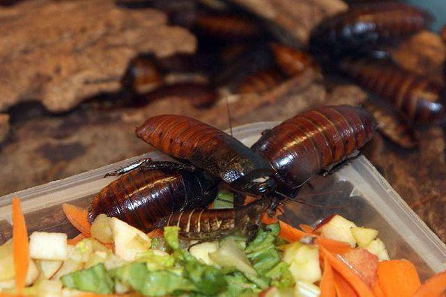Что едят декоративные тараканы в домашних условиях.