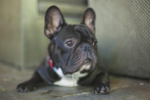 Какие собаки считаются самыми красивыми в мире? Французский бульдог.