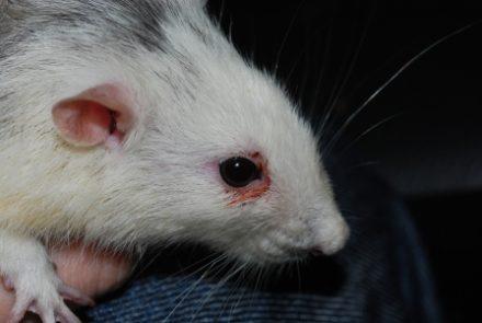 Инфекционные болезни грызунов.